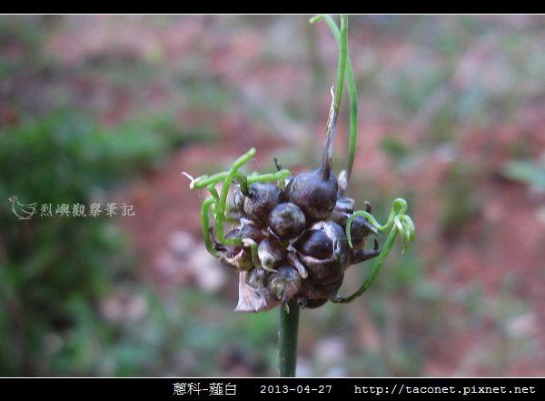蔥科-薤白_09.jpg