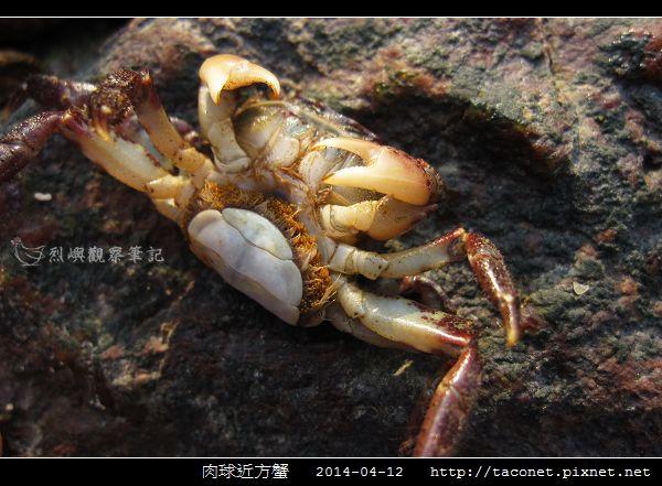 肉球近方蟹_04.jpg