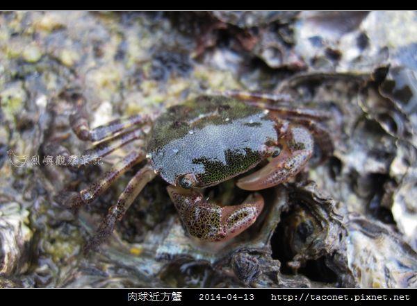 肉球近方蟹_05.jpg