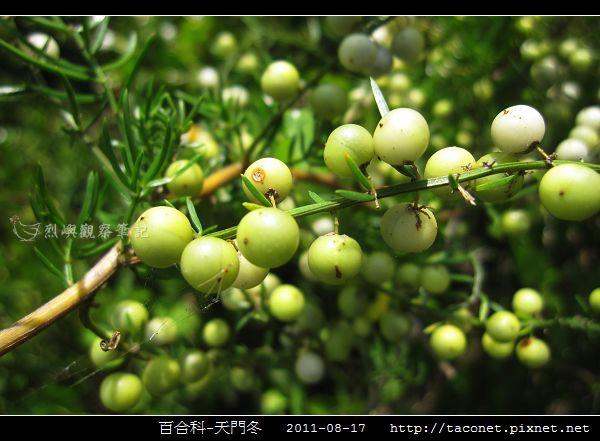 百合科-天門冬_06.jpg