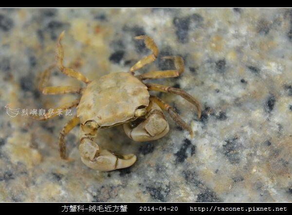 方蟹科-絨毛近方蟹_02.jpg