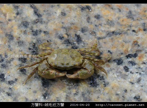 方蟹科-絨毛近方蟹_03.jpg