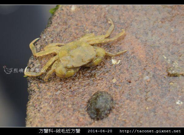 方蟹科-絨毛近方蟹_05.jpg
