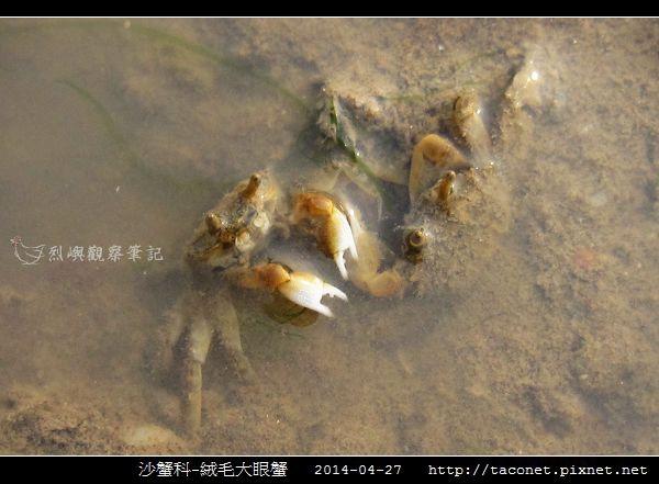 絨毛大眼蟹_06.jpg