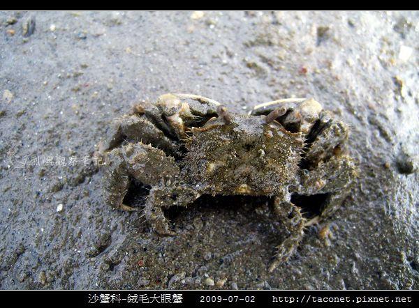 絨毛大眼蟹_08.jpg
