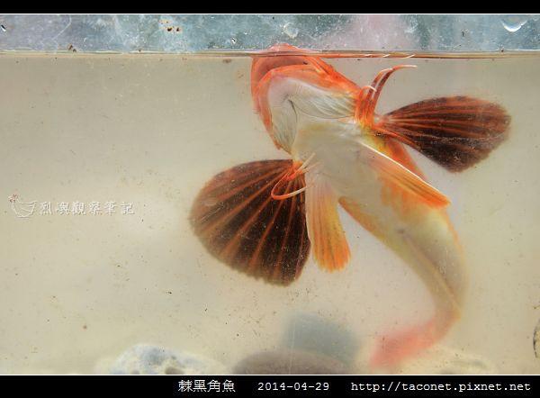 棘黑角魚_13.jpg