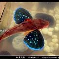 棘黑角魚_14.jpg
