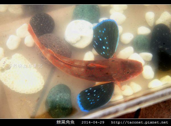 棘黑角魚_11.jpg