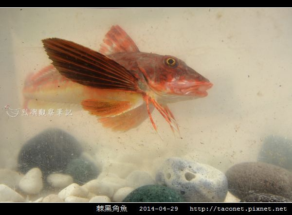棘黑角魚_12.jpg