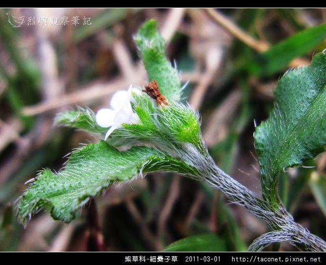 紫草科-細纍子草_10.jpg
