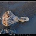 中華棘海鰓_02.jpg