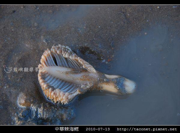 中華棘海鰓_03.jpg