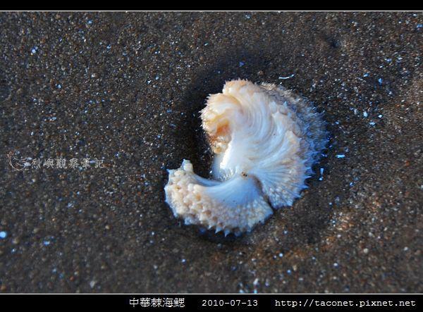 中華棘海鰓_05.jpg