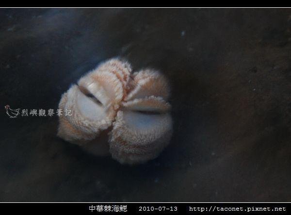 中華棘海鰓_06.jpg