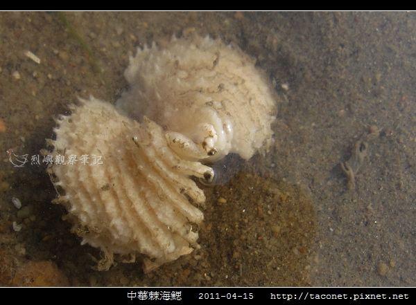 中華棘海鰓_08.jpg