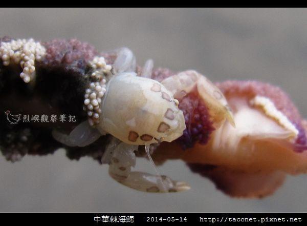 三葉小瓷蟹.jpg