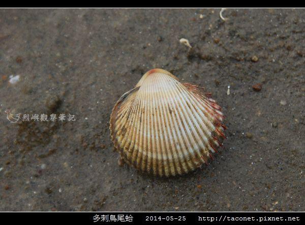 多刺鳥尾蛤_01.jpg