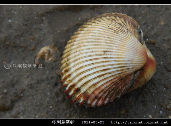 多刺鳥尾蛤_03.jpg