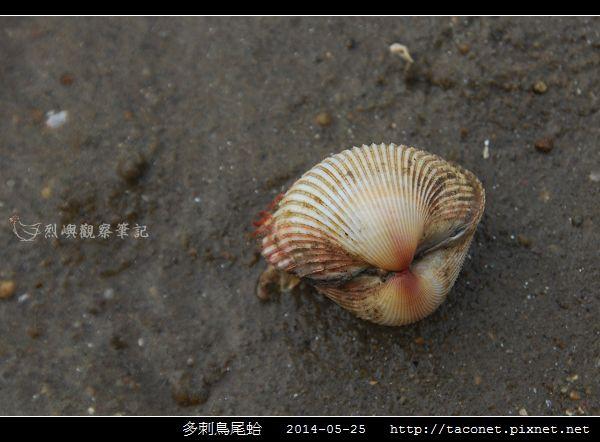 多刺鳥尾蛤_02.jpg