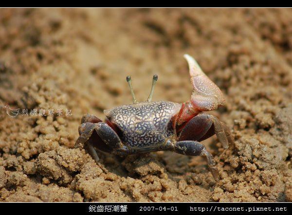 銳齒招潮蟹_03.jpg