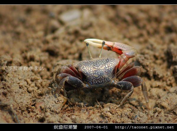 銳齒招潮蟹_04.jpg