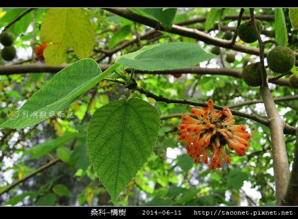 桑科-構樹_05.jpg