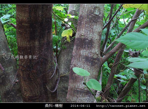 桑科-構樹_06.jpg