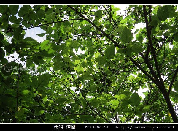 桑科-構樹_09.jpg