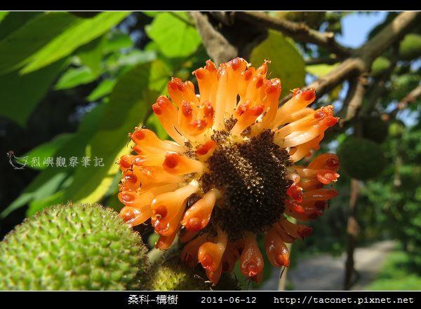 桑科-構樹_15.jpg