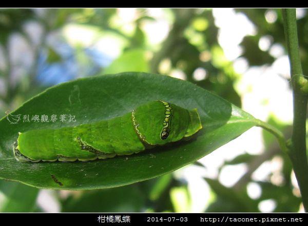 柑橘鳳蝶_05.jpg