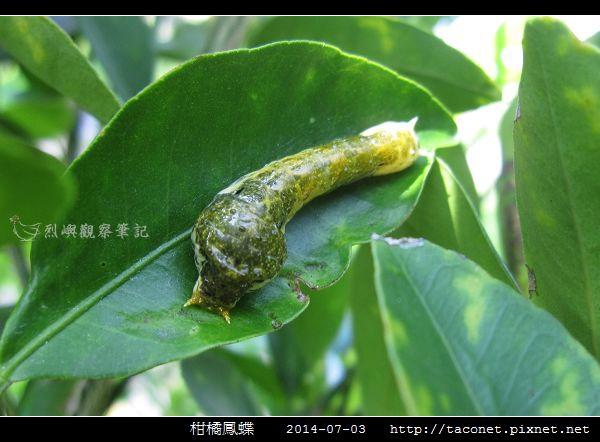 柑橘鳳蝶_06.jpg