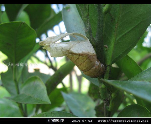 柑橘鳳蝶_08.jpg