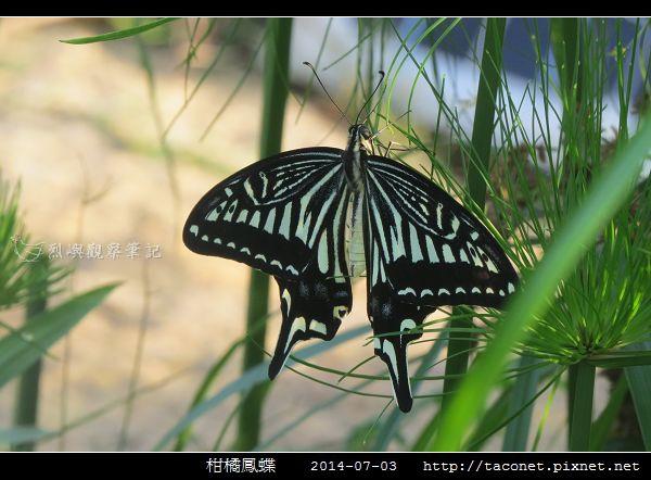 柑橘鳳蝶_09.jpg