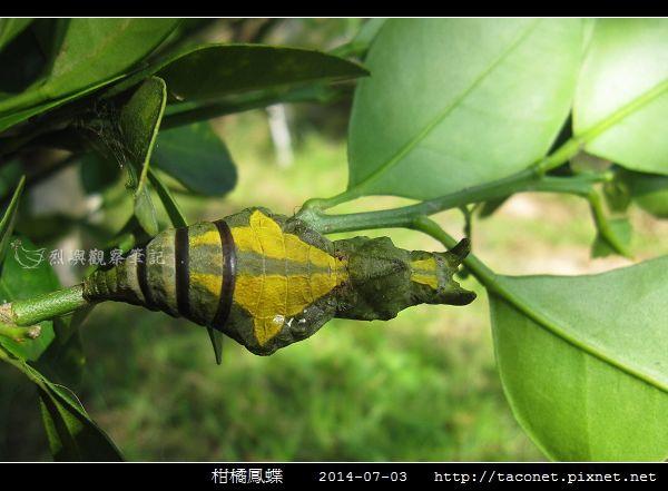 柑橘鳳蝶_07.jpg
