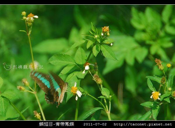 鱗翅目-青帶鳳蝶_01.jpg