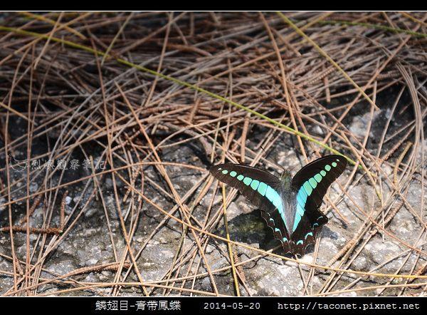 鱗翅目-青帶鳳蝶_02.jpg