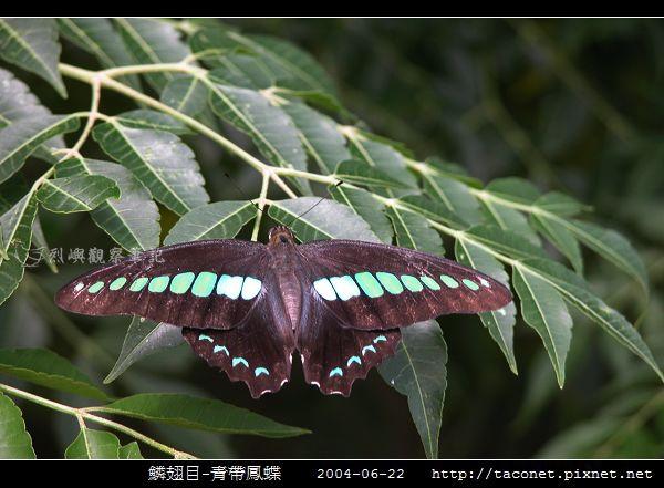 鱗翅目-青帶鳳蝶_03.jpg