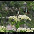 鱗翅目-青帶鳳蝶_04.jpg