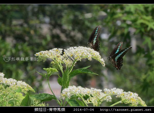 鱗翅目-青帶鳳蝶_05.jpg