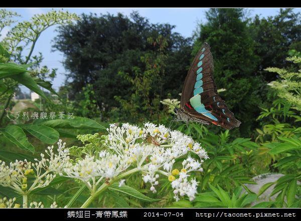 鱗翅目-青帶鳳蝶_06.jpg