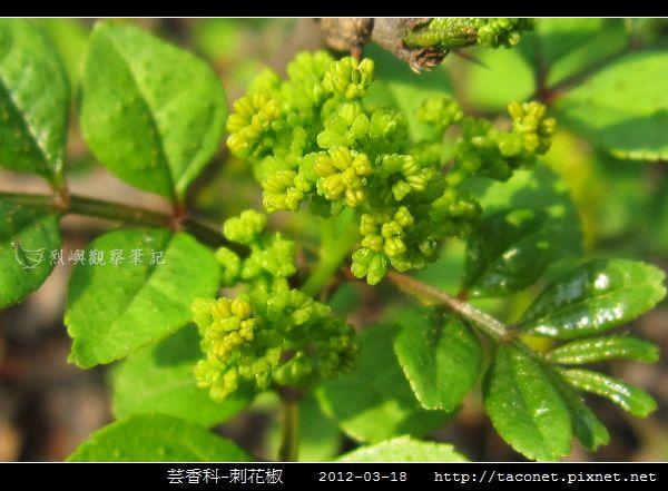 芸香科-刺花椒_07.jpg