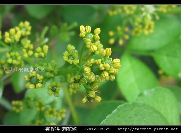 芸香科-刺花椒_11.jpg