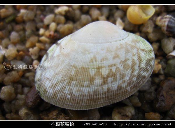 小眼花簾蛤_06.jpg