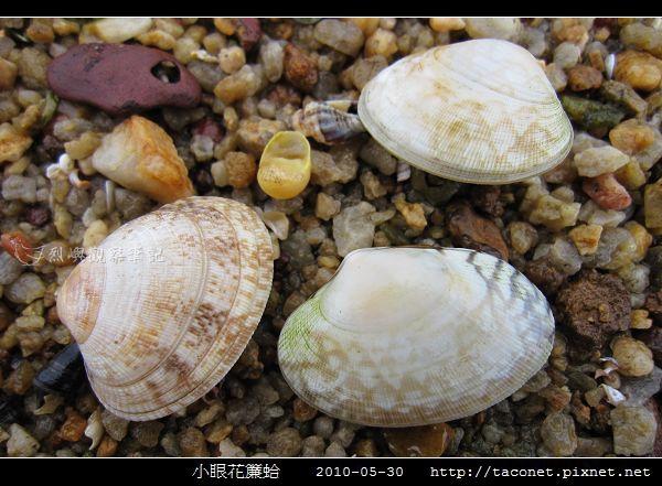 小眼花簾蛤_07.jpg