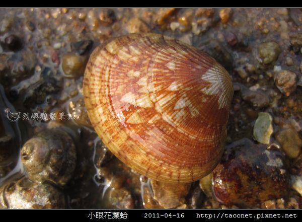 小眼花簾蛤_08.jpg