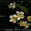 夾竹桃科-緬梔_02.jpg