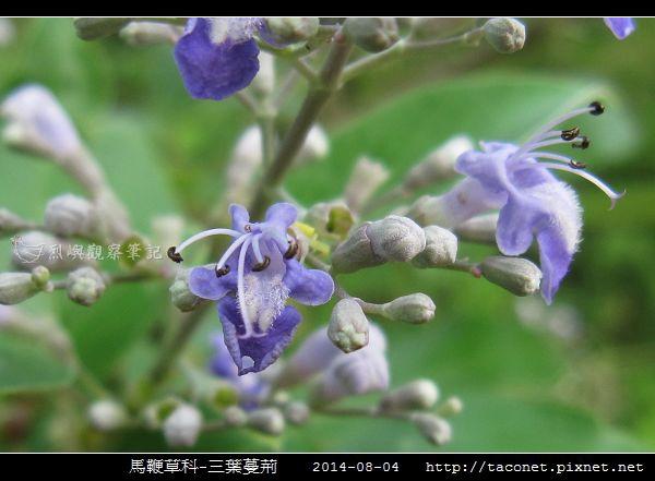 馬鞭草科-三葉蔓荊_01.jpg