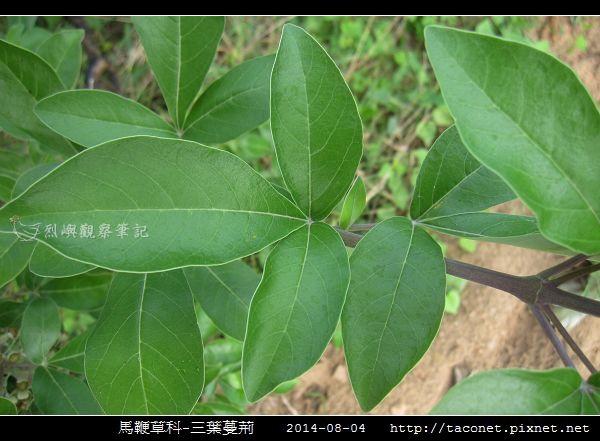馬鞭草科-三葉蔓荊_03.jpg