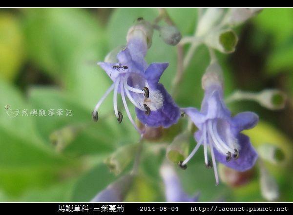馬鞭草科-三葉蔓荊_04.jpg
