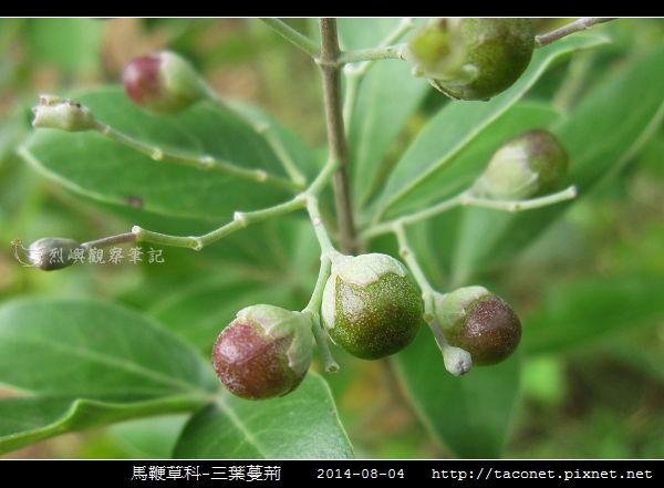 馬鞭草科-三葉蔓荊_05.jpg